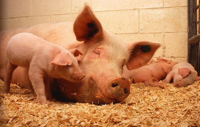 Schwein mit Ferkeln